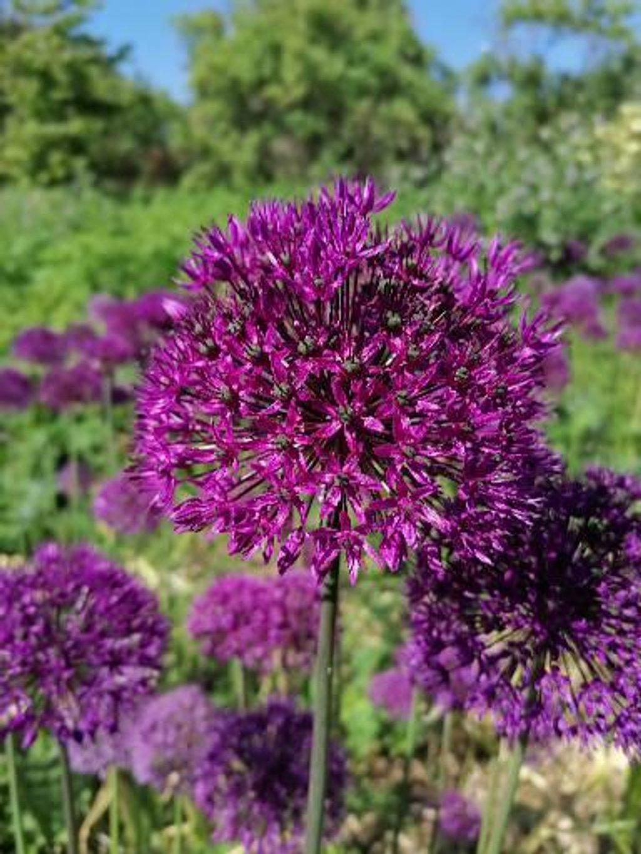 Allium  by fueast