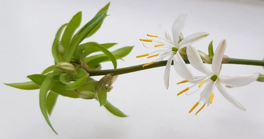 Spider Plant by fishers