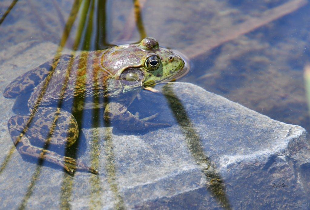 ~Bull Frog~ by crowfan