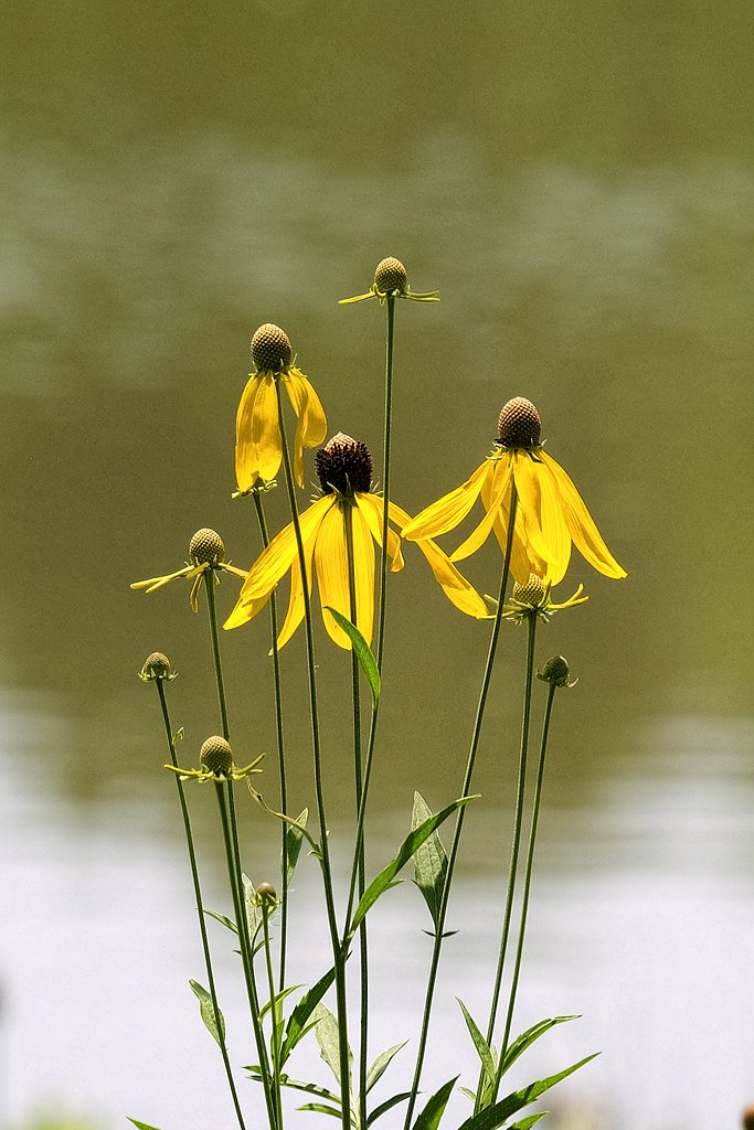 Grey Headed Coneflowers by lsquared