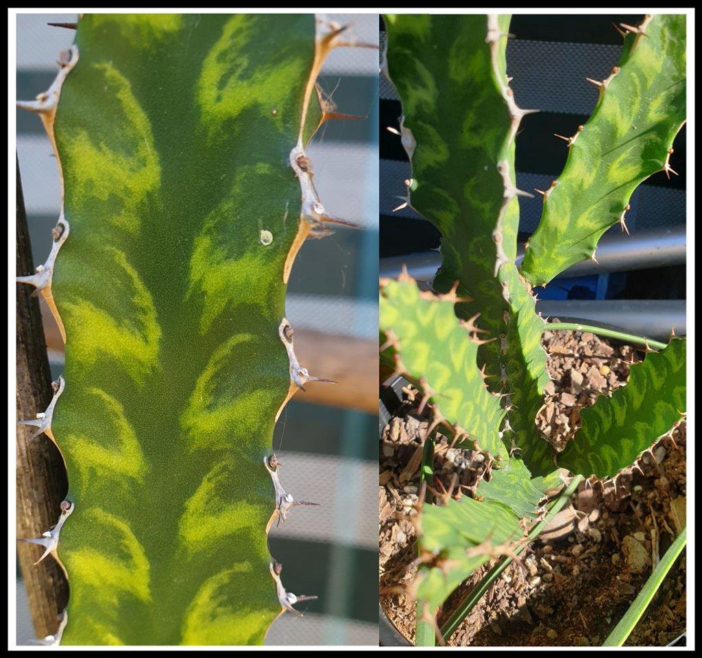 Euphorbia Pseudocactus 'Candelabra Spurge' by annied