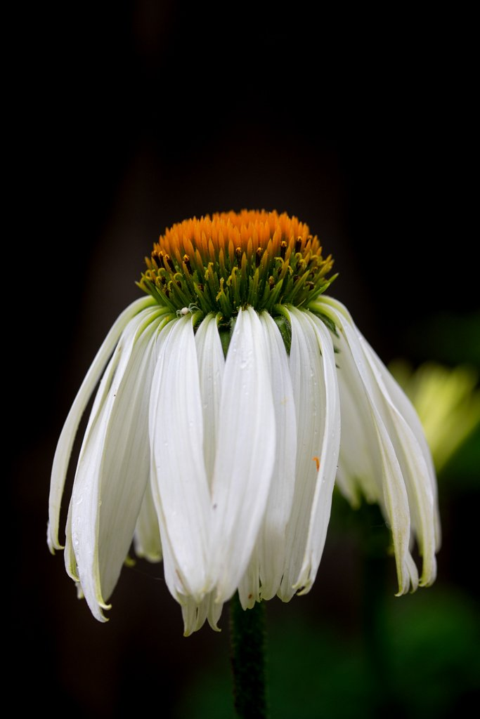 Echinacea by leonbuys83
