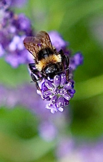 Pollen Collecting  by carole_sandford