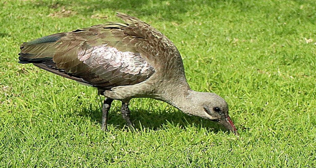 Hadida Ibis by ninaganci