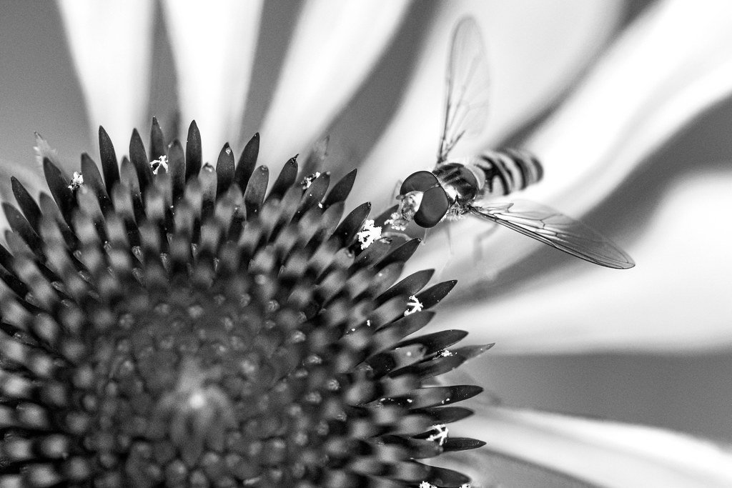 Hover fly on Echinacea in black and white  by rjb71