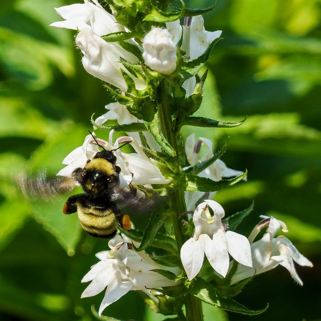 Bumblebee on Lobelia by k9photo