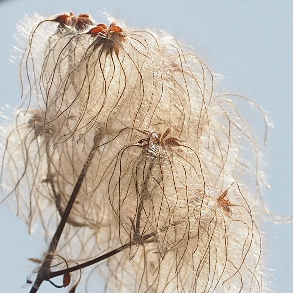 Clematis seeds by jacqbb