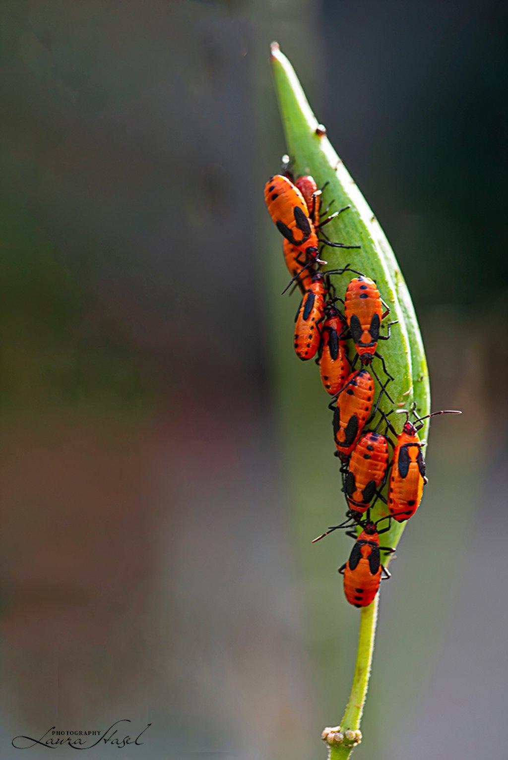 Milkweed Bugs by lstasel
