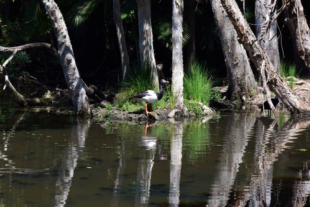 Confusing Reflections ..  And ..  A Magpie Goose ~   by happysnaps