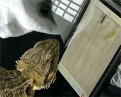 Les lézards aiment les tablettes tactiles