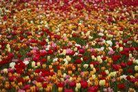 Tausende Tulpen auf einem Feld. / © Stephan Hahnel/pixelio.de