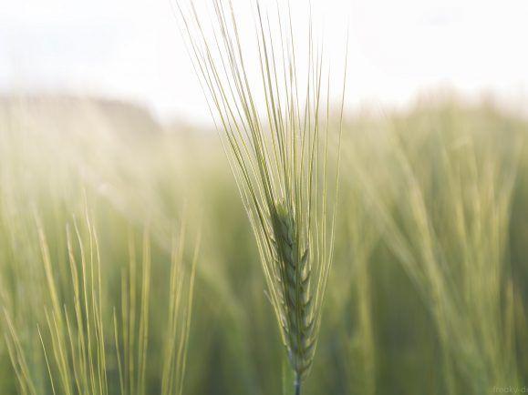 Nicht nur Bio-Bauern freuen sich über Saatgut aus ökologischer Forschung.
