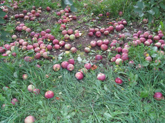 """Äpfel mit Hagelspuren oder kleineren Druckstellen – """"The Good Food"""" nimmt sich ihnen an."""