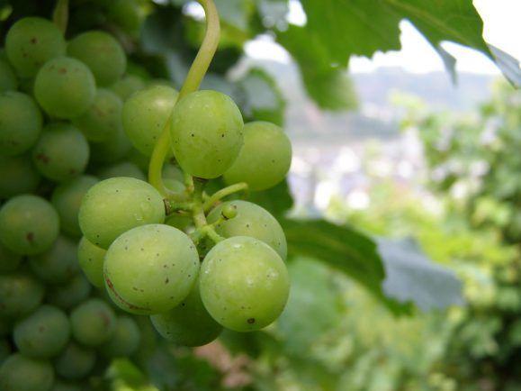 Die Sonne geht über den Weinbergen auf. Solange die Triebe noch nicht gesprossen sind, kann der Frost dem Wein nichts anhaben. Foto: CC BY-ND 2.0 | Joe Shoe / flickr.com