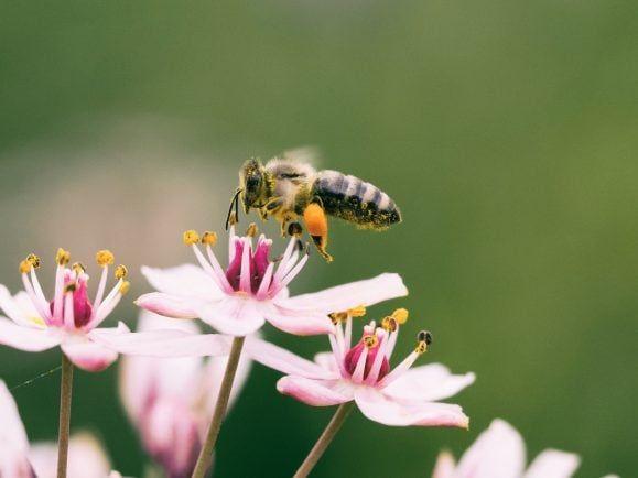 Ein Insekt an einer Blüte. Insektensterben ist das Thema des Spektrum-Podcasts.
