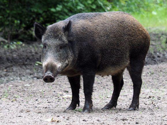 Wildschweinzaun