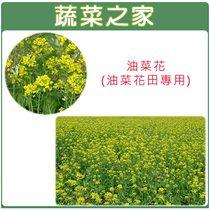 【蔬菜之家00A16-2】油菜花種子(油菜花田專用)1公斤