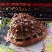 Happy Kiss HappyKiss Natural conch shells Wanbao prosperous
