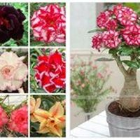 YIMEISR 100% true Desert Rose Seeds Ornamental Plants