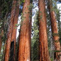 100 PCS giant redwood fast growth rare tree seeds