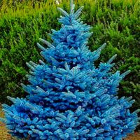 kalokasi 30 pcs/bag bonsai blue spruce Picea Pungens Seeds