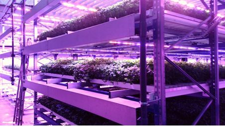 Figure: Growing leafy vegetables in multi-tier growing trays under LEDs