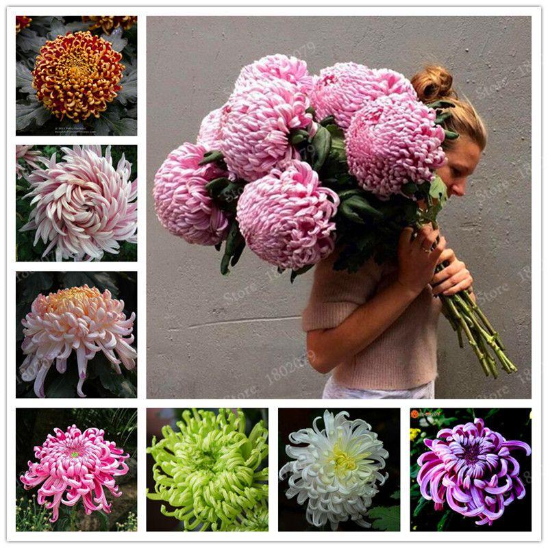 Chinese mum Seeds Rare Perennial Flower Seeds Indoor Bonsai Plants Chrysanthemum plant For Home & Garden mixed color 200pcs/bag
