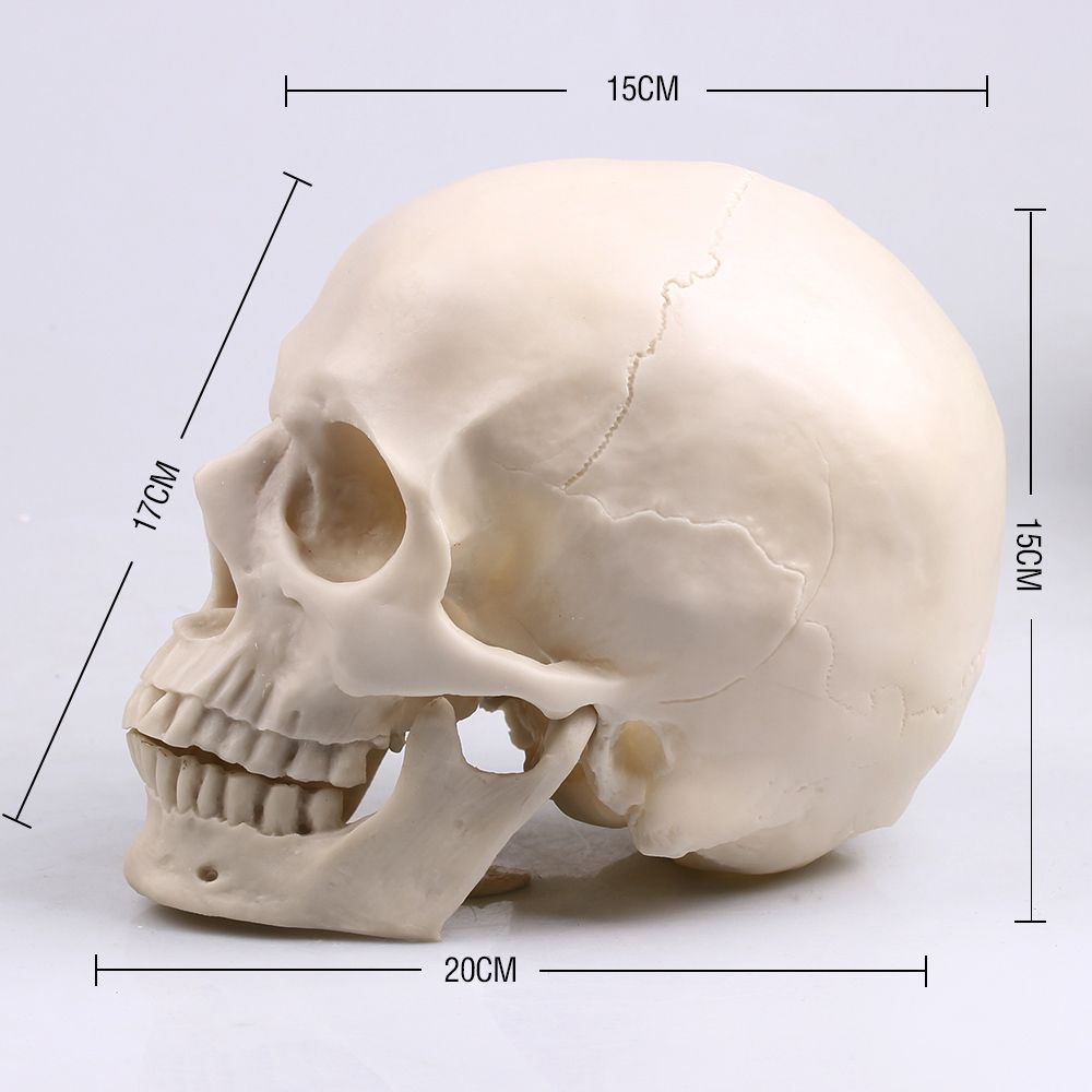 P-<font><b>Flame</b></font> 1:1 Resin Skull Sculpture Education And Painting dedicated Medical Model Realistic Lifesize Home Decoration Accessories
