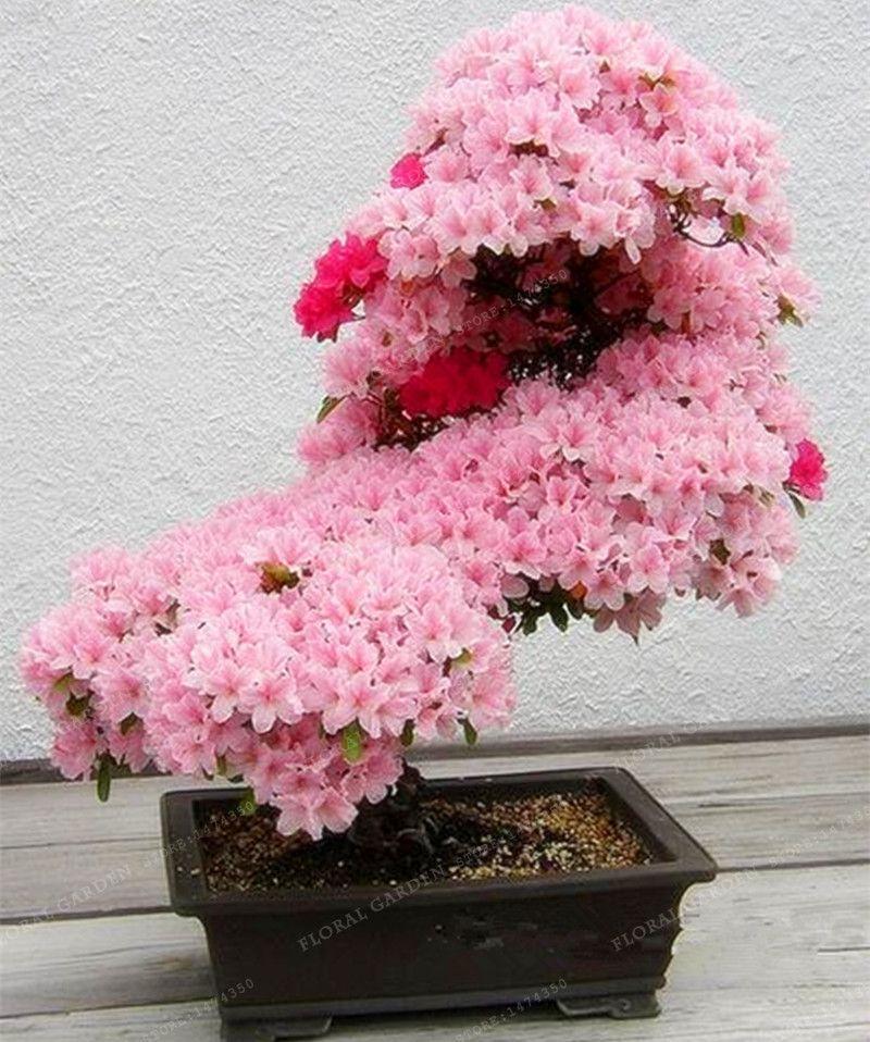 Bonsai Tree japanese Sakura Seeds Rare Japanese Cherry Blossoms Flowers Seeds in Bonsai,Pink Prunus Serrulata 10 seeds/pack