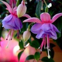 Fuchsia, fuchsia graines, fleur fuchsias graines-100 pcs pour la maison et le jardin