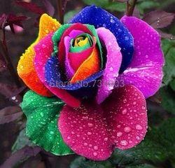 150 pcs/pack Bonsaï Graine De Fleur Hollande Rainbow Rose Graines Pour La Maison Jardinage
