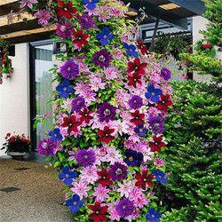 50 PCS/lot 24 couleurs belle clématite graines, clématite plantes grimpantes graines, bonsaï fleur pour la maison jardin décoration