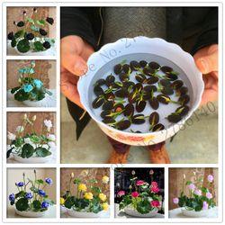 Hot summer 100% Bol lotus graines semis pots Bonsaï attendre lily jardin plantes aquatiques graines de fleurs 5/sac