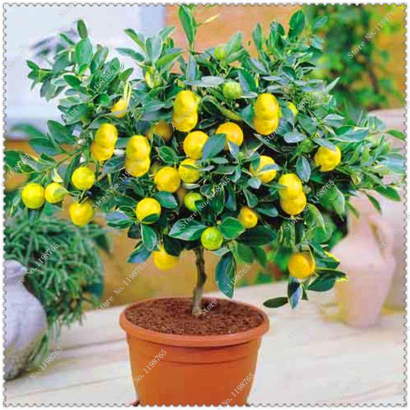 20 pièces/sac Lemon Graines délicieux fruits seeds Haut Taux de survie bonsaï Semences d'arbres Pour La Maison Jardin
