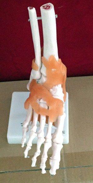 Life-size pie conjunta tobillo modelo Anatómico Del Pie Humano Con Ligamentos-Medical Educational Training Aid