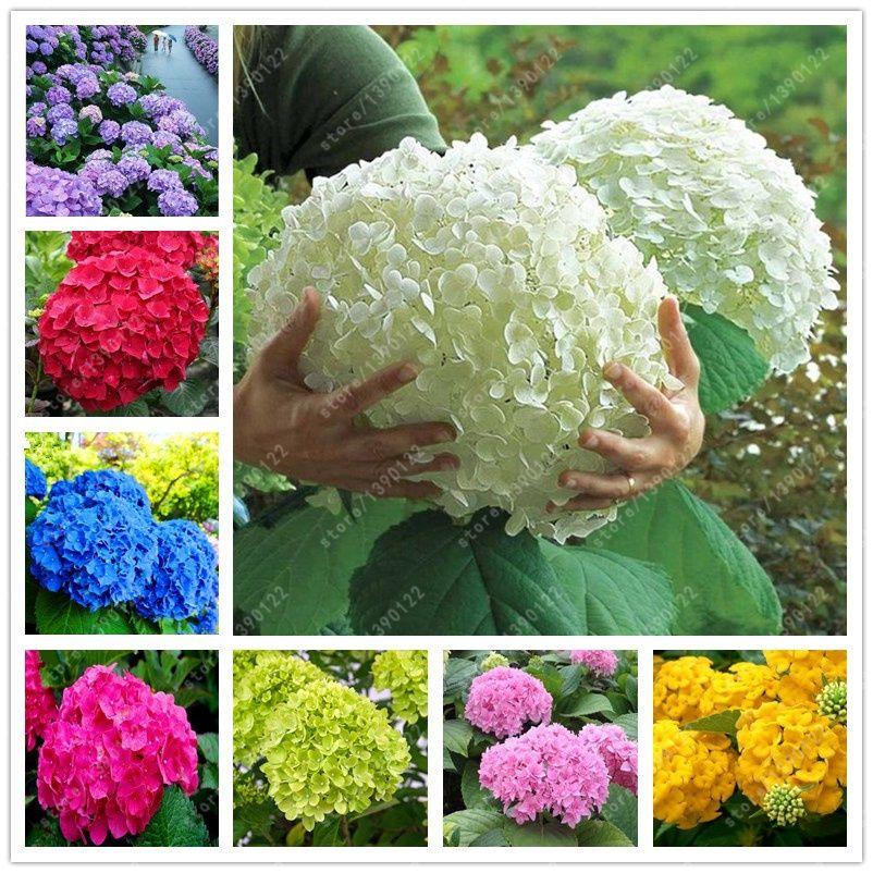 20 pcs/bag hydrangea seed, bonsai flower seeds china hydrangea perennial garden flowers seeds outdoor plant pot