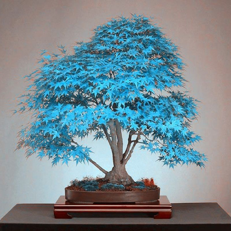 20 Pcs Blue Maple Tree Seeds Bonsai Tree Seeds Rare Yellow Red Japanese Maple Seed Balcony Plants For Home Garden Flower