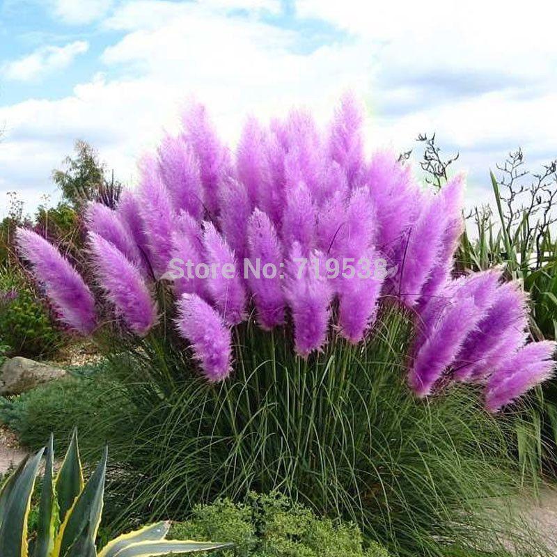 100pcs New Rare Impressive Purple Pampas Grass Seeds Ornamental home garden Plants Flowers seeds Cortaderia Selloana  bonsai pot