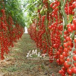 200 légumes tomates graines heirloom doux jardinage plantes graines pour la maison jardin plantation