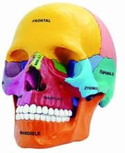 Double your results at didactic skull ing in half the time