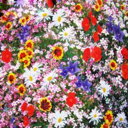 300 Pcs/sac Fleurs Sauvages Combinaison Graines De Fleurs Vivaces Plantation Mixte Graines De Fleurs Sauvages Aromatique Agréable-Odeur Parfumé
