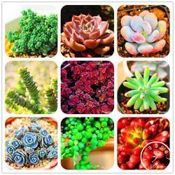Perte de Promotion! 99 Sortes Plantes Succulentes Rares Graines Graines Lithops Pseudotruncatella Bureau Bonsaï Plantes Graine De Fleur 100 PCS/Pack, # BHY