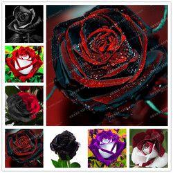 100 PCS Rare Rose Graines Noir Rose Fleur Avec Bord Rouge Rare Rose Fleurs Graines Pour Le Jardin Bonsaï Plantation maison jardin usine
