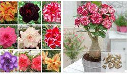 100% vrai Désert Rose Graines Plantes Ornementales Balcon Bonsaï En Pot Fleurs Graines Adenium Obesum Semences-5 Particules/lot