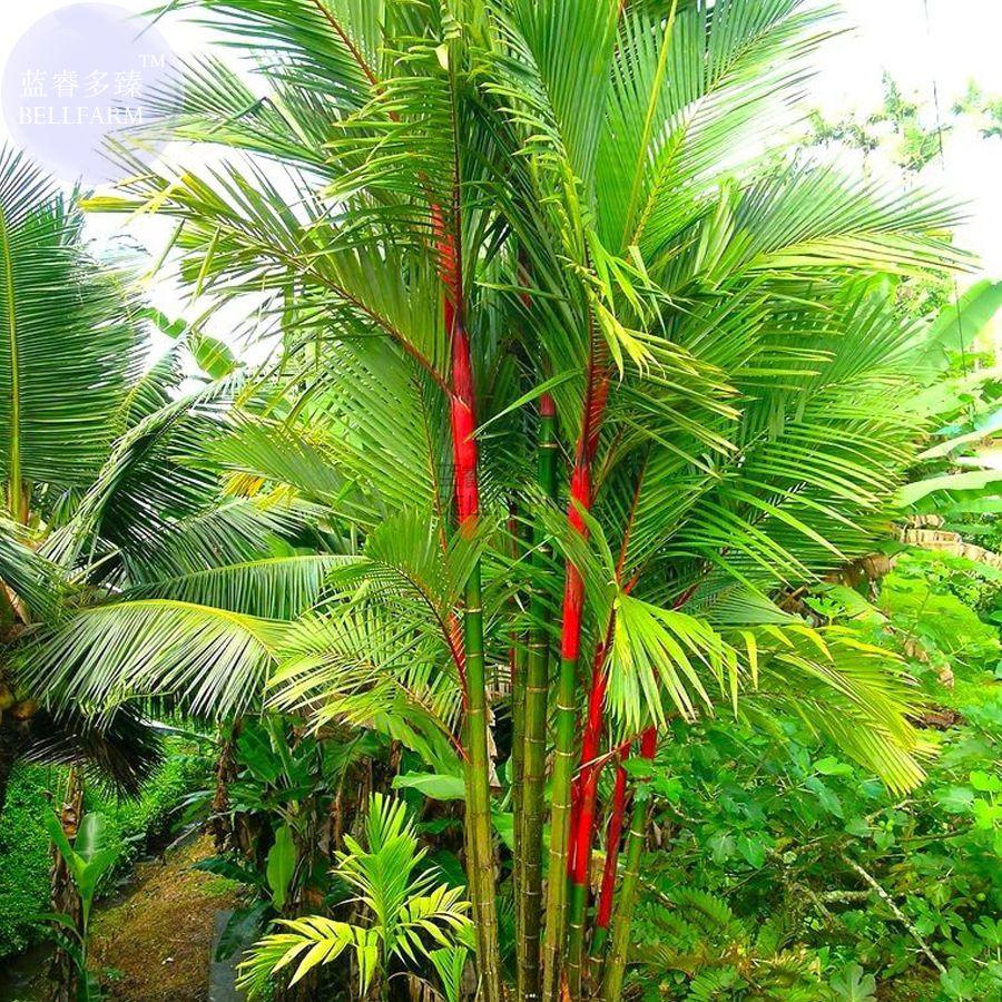 BELLFARM Lipstick Palm Cyrtostachys Renda Tree, 10 seeds, red sealing wax palm E3831