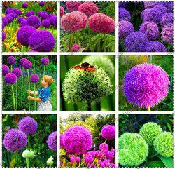 Creative Usine 100 pcs Géant Oignon Graines Allium Giganteum Graine De Fleur Fleur Bonsaï Plante le Jardin de DIY usine Livraison Gratuite