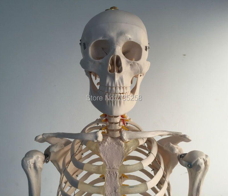 Lebensgroße Skeleton 180 cm Hoch. Menschliches Skelett Modell, Ganze Körper Skelett Modell
