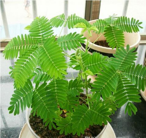 Easy to grow Mimosa Seeds Flower Pot Planters Garden Bonsai Grass Seed 50 Particles / bag