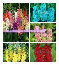 Glaïeul graines, glaïeul fleur graines, aérobie plantes d'intérieur en pot-100 pcs Glaïeul/sac