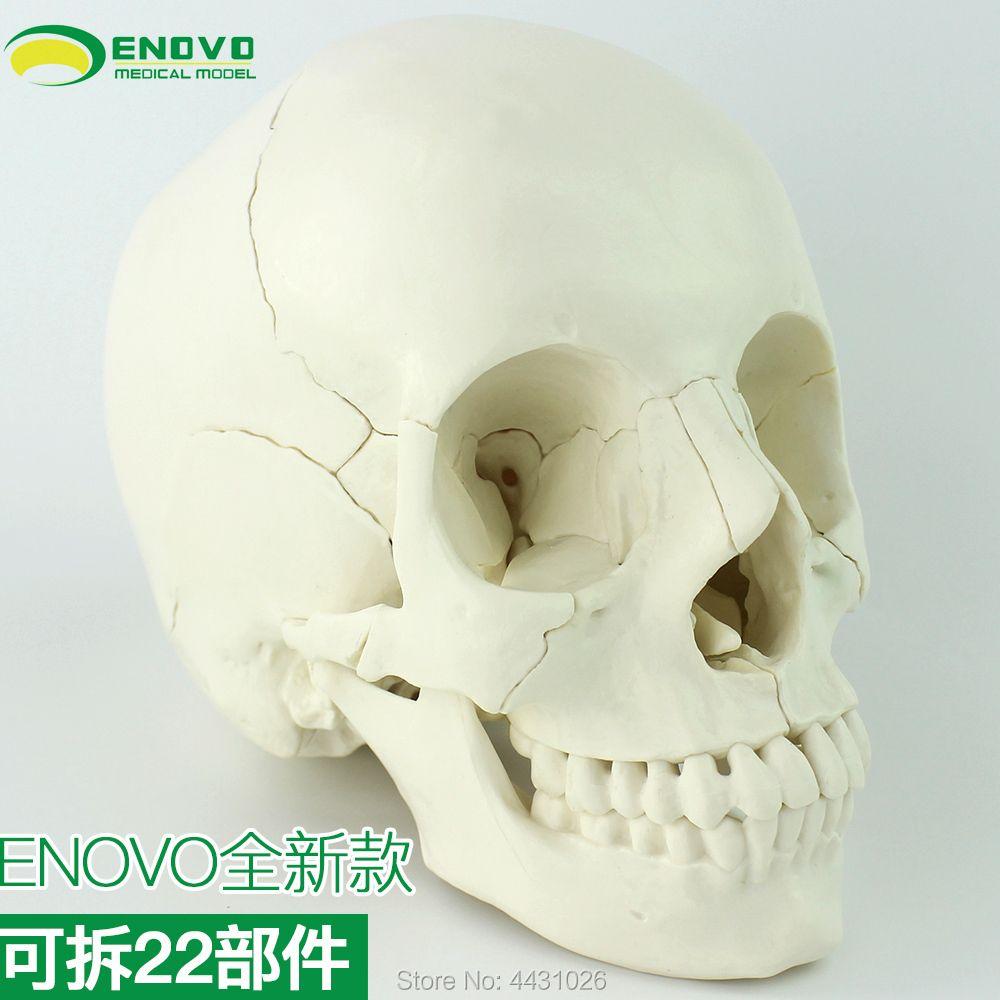 ENOVO Medizinische menschliches. schädel modell schädel knochen montage abnehmbare schönheit und micro kunststoff lehre Schädel
